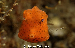 Juvenile Trunkfish by Suzan Meldonian 